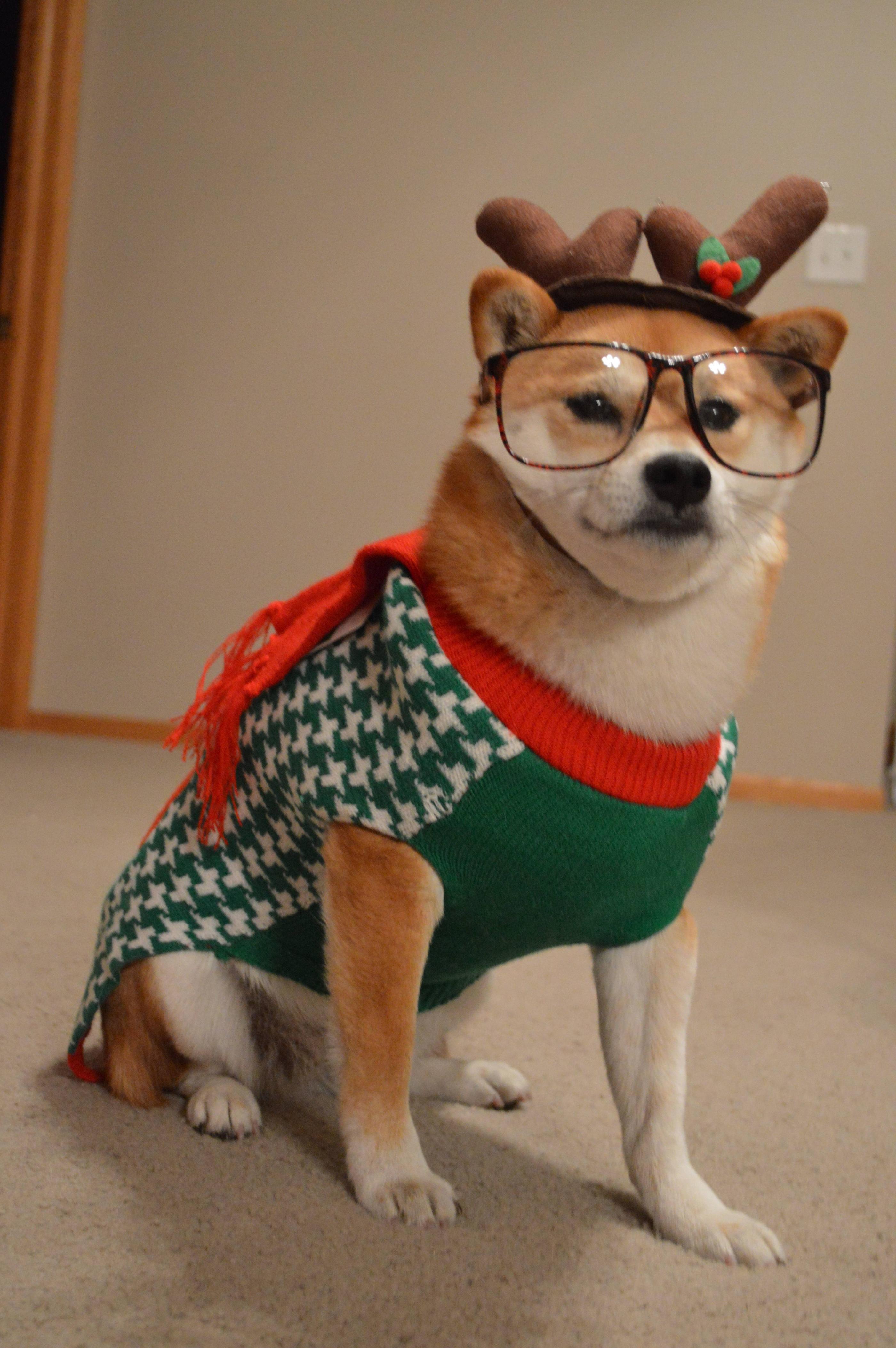 Shiba S Funny Merry Christmas Memes Christmas Memes Merry Christmas Funny