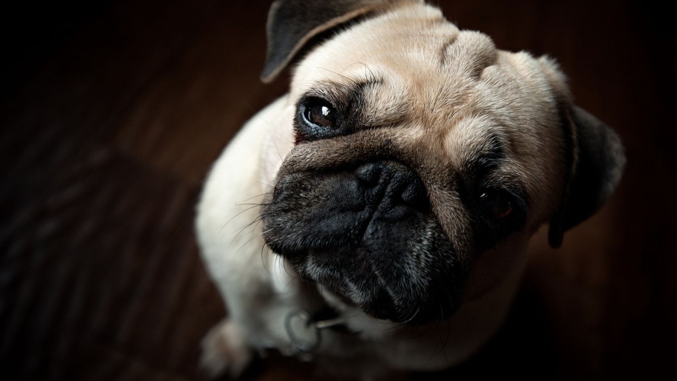 Pug Wallpapers Awesome Pug Wallpapers Hq Definition Cute Dog