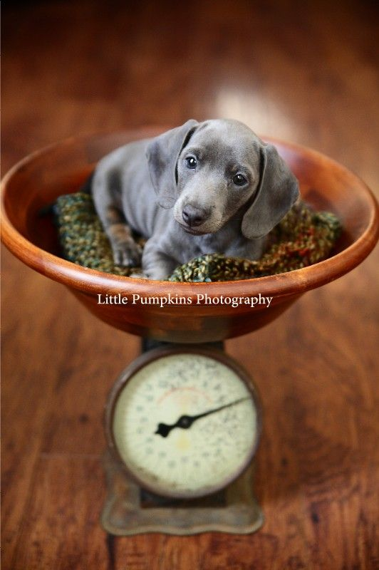 Slinky The Dachshund Puppy Portraits Ventura County Photographer