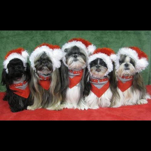 Events Ohio Fuzzy Pawz Shih Tzu Rescue Pictures With Santa Claus Carroll Oh Lancaster Eagle Gazette Shih Tzu Dog Shih Tzu Christmas Puppy
