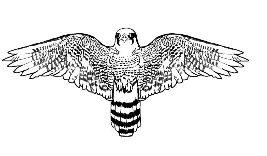 Realistic Falcon Bird Coloring Pages | Coloring Pages | Bird ...