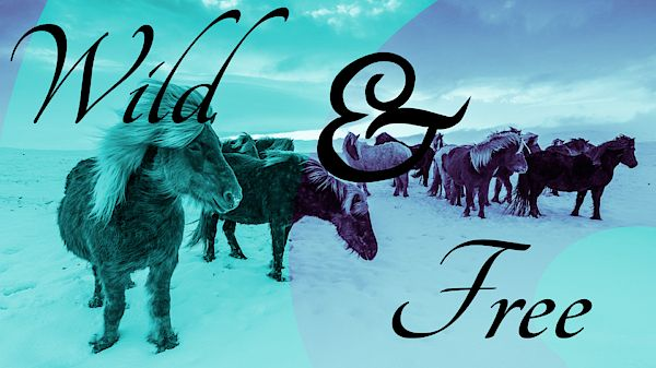 A photograph of Icelandic Horses on a snowy landscape backdrop with a blue and purple duotone effect. The design includes typography and the words