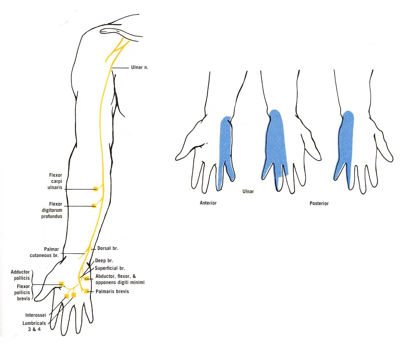 ulnar nerve diagram 2002 kia spectra fuel pump wiring of the muscular and cutaneous branches