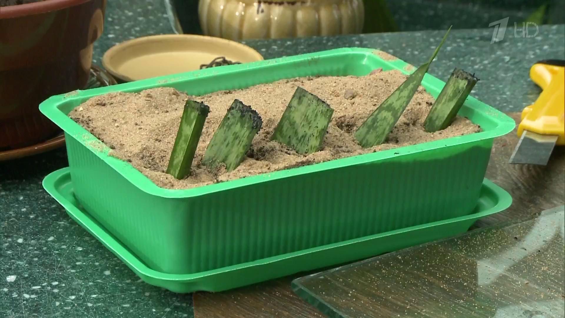 Как размножить домашние растения черенками?