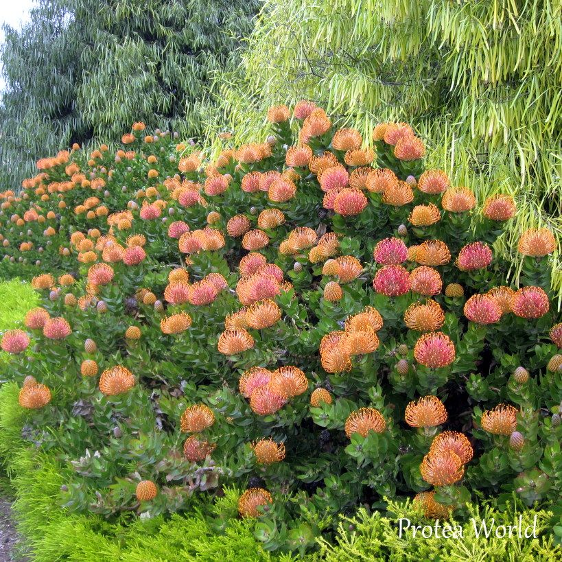 Pincushion Protea Leucospermum Patersonii Family Proteaceae Low Water Gardening Plants Flower Painting