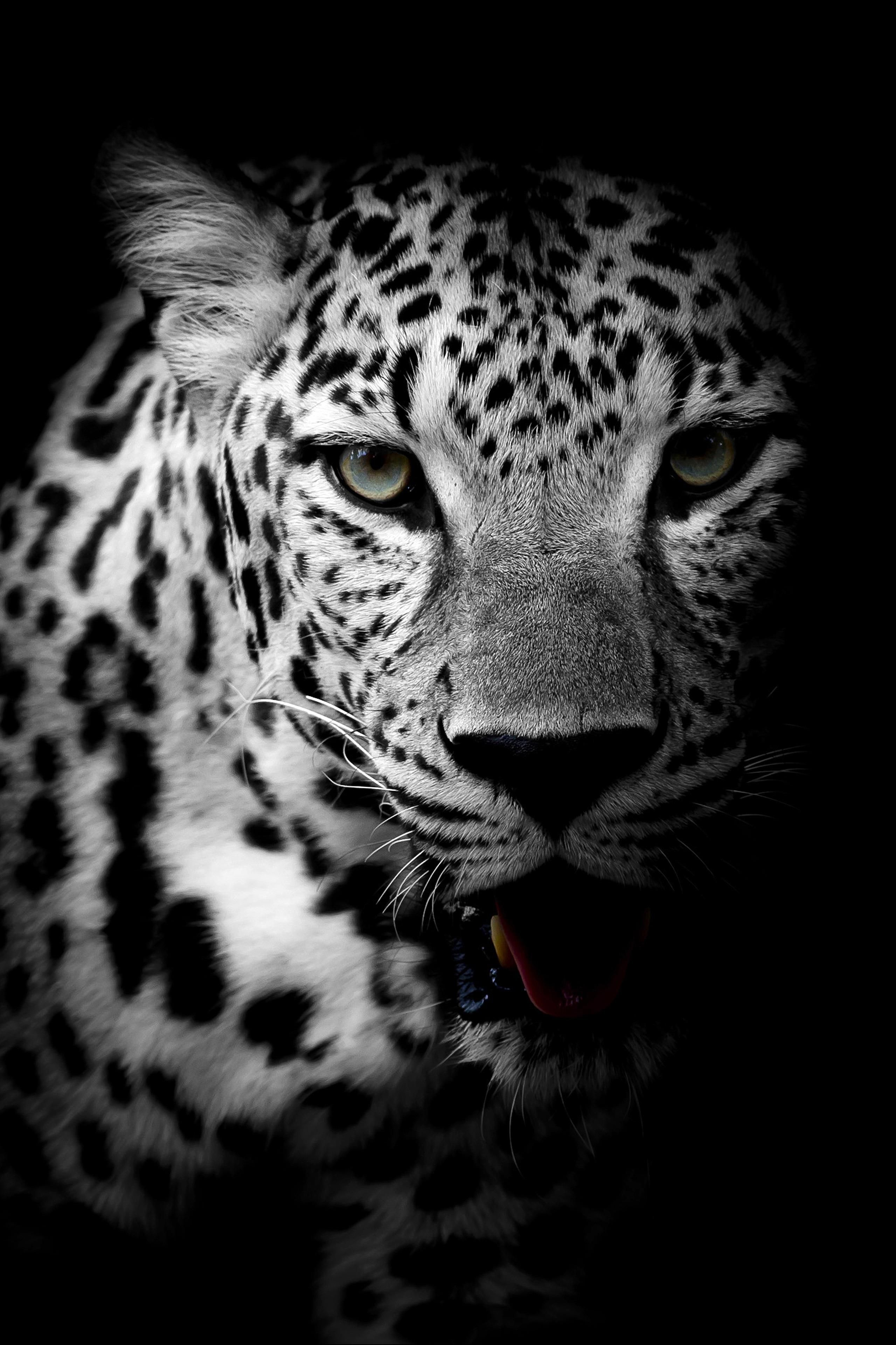 Amoled Animal Wallpaper Leopard Wallpaper Animals Black And White Wild Animal Wallpaper