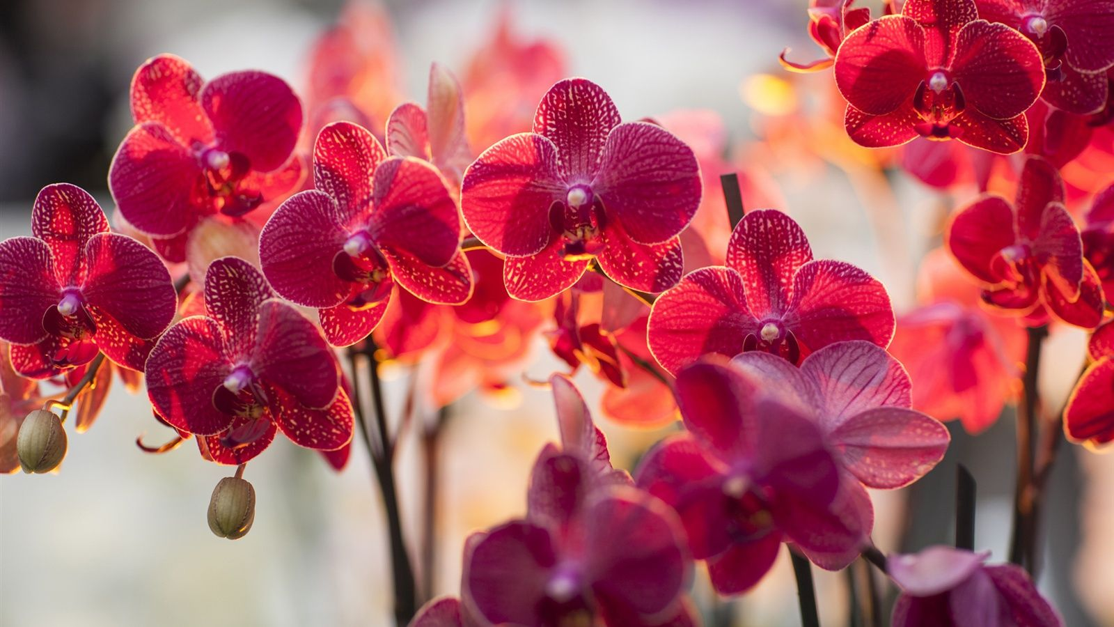 Phalaenopsis Red Spring Wallpaper Orchid Wallpaper Orchids Red Orchids