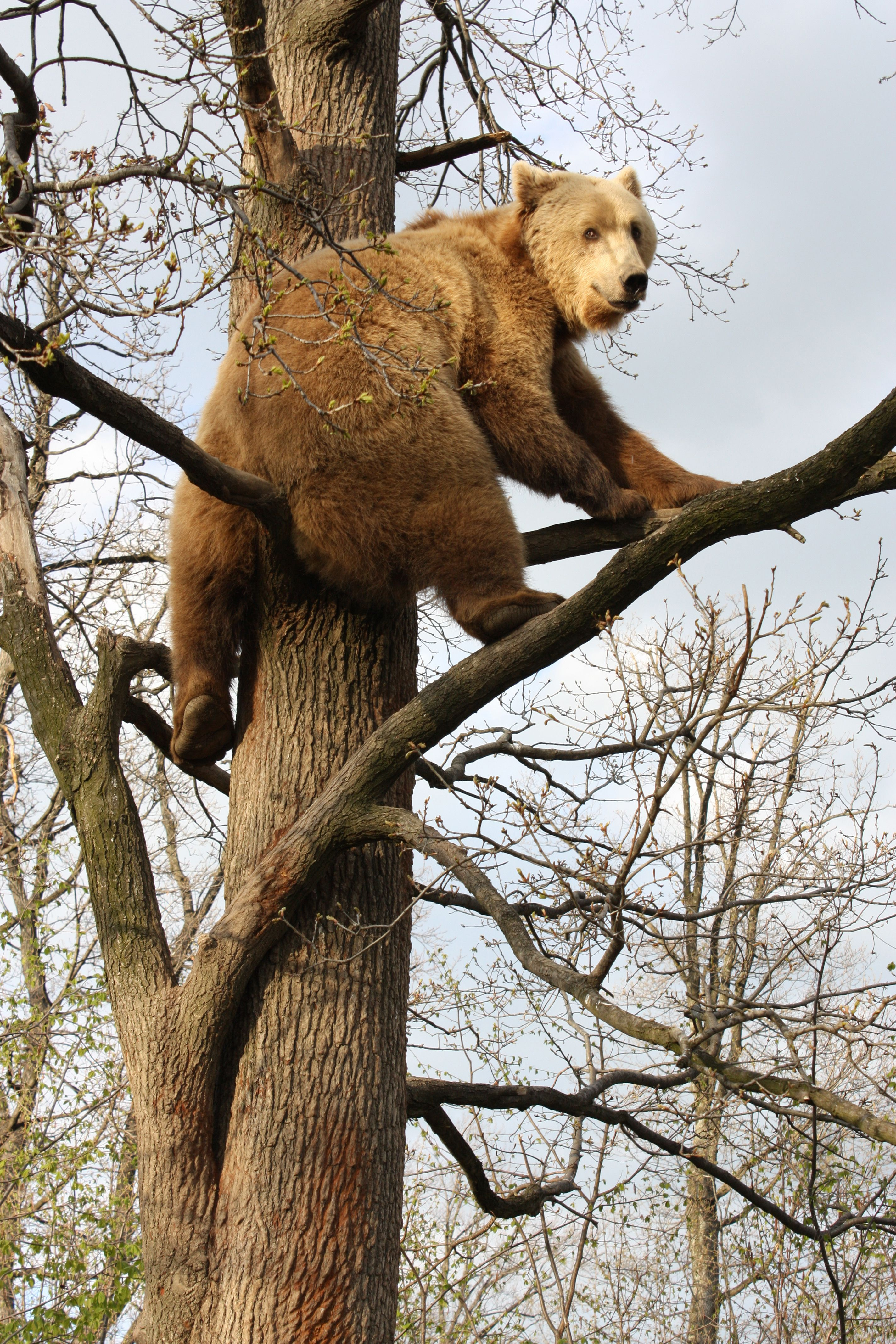 A resident bear climbing a tree at the World Animal