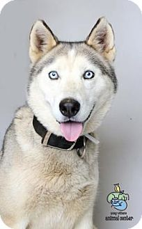 Knoxville Tn Siberian Husky Mix Meet Shyla A Dog For Adoption