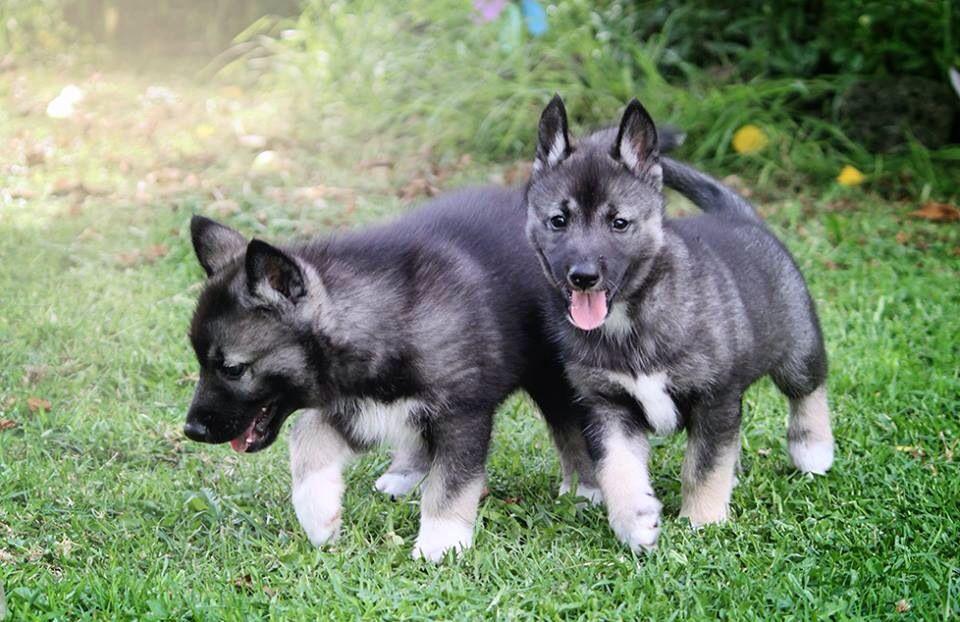 Draven And His Sister Agouti Siberian Husky Puppies Siberian