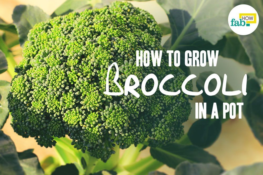 How To Grow Broccoli In A Pot Fab How Growing Broccoli