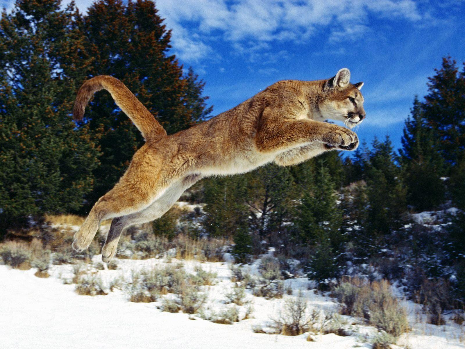 Winter Cougar