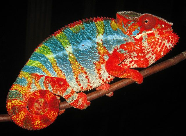 Panther chameleon - With amazing and vibrant colors and ...