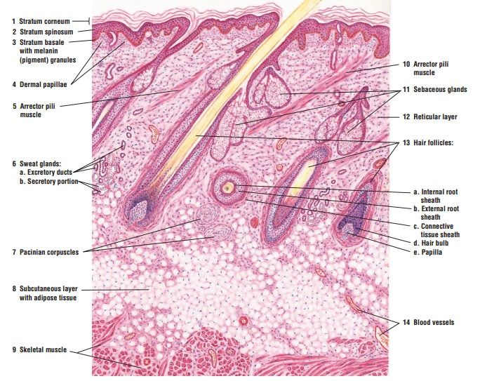 Histologic Diagram Of Skin High Magnification Epithelium