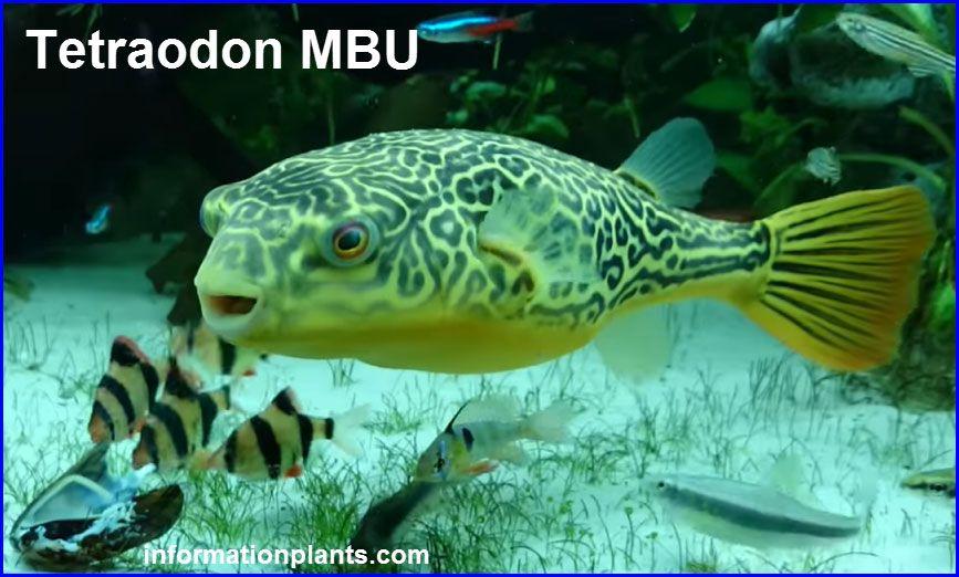 انواع سمك الينفوخ او السمكة المنتفخة Tetraodon قوائم الاسماك قوائم انواع الاسماك معلومان عامه معلوماتية Pets Fish Pet Animals