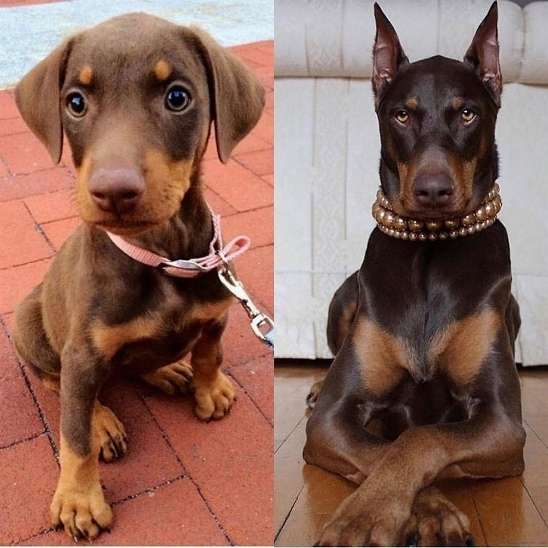 Dogs Puppies Doglovers Pets Interesting Petlove Doberman Dogs