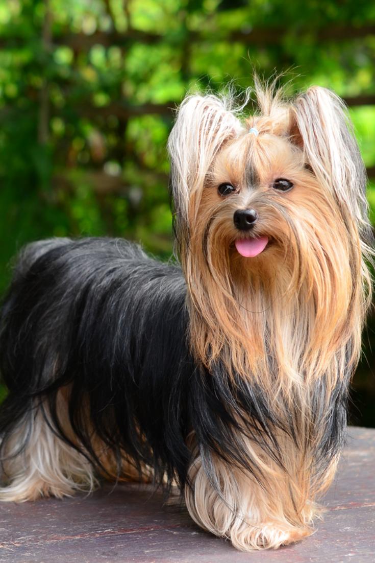 Yorkshire Terrier Yorkshireterrier In 2020 Yorkshire Terrier Puppies Yorkshire Terrier Terrier Puppies