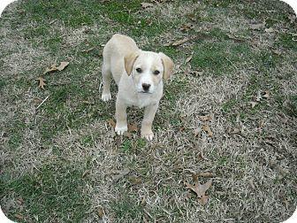 Pin By Elizabeth Rothe On Adoptables Labrador Retriever Labrador Retriever Mix Pets