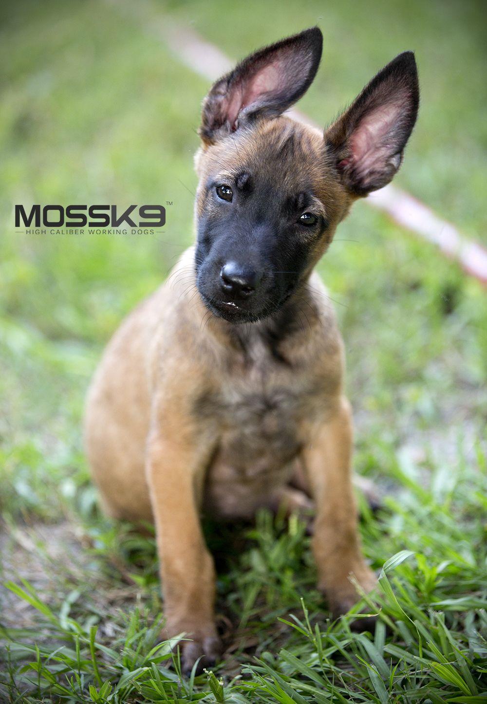 Belgian Malinois Breeder Mossk9 Malinois Malinois Puppies For