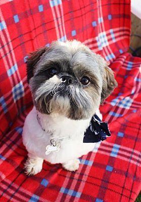 Phoenix Az Shih Tzu Meet Mocha A Pet For Adoption Dogs Cont