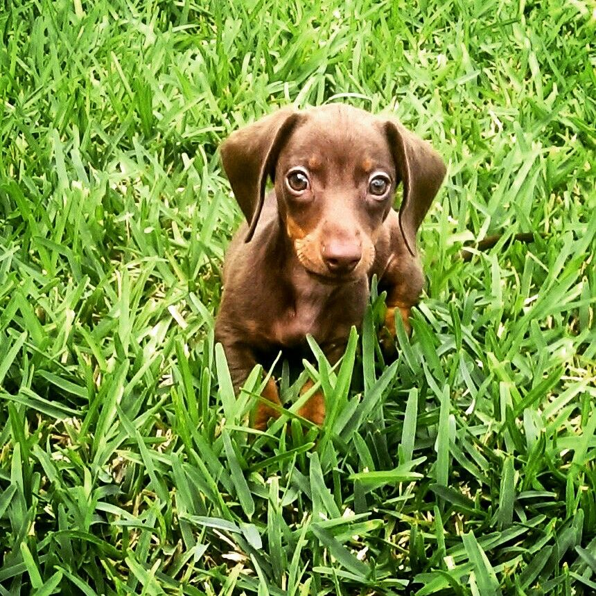 How Much Do Dachshund Puppies Cost Ideas