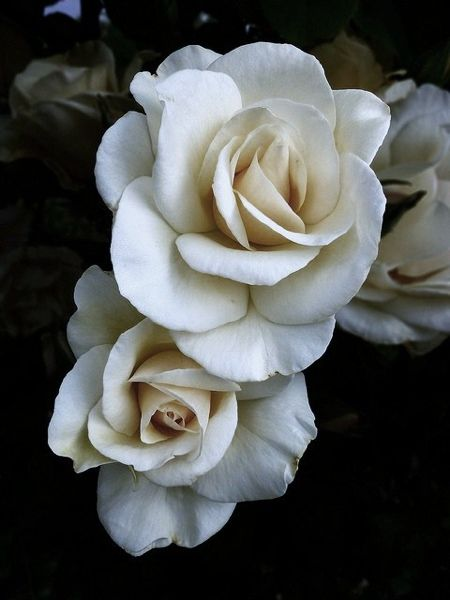 a perfect gardenia - the perfect gift