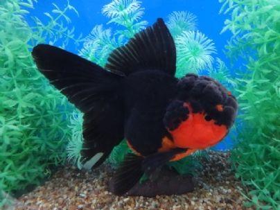 Goldfish Auction Goldfish Fish Pet Fish