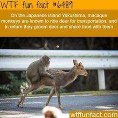 These monkeys in Japan ride deer for transportation - WTF fun facts
