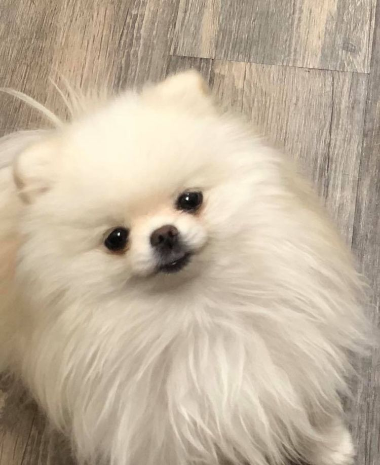 Pin By C Graham On Cute Baby Animals Cute Animals Pomeranian Puppy Cute Animal Pictures
