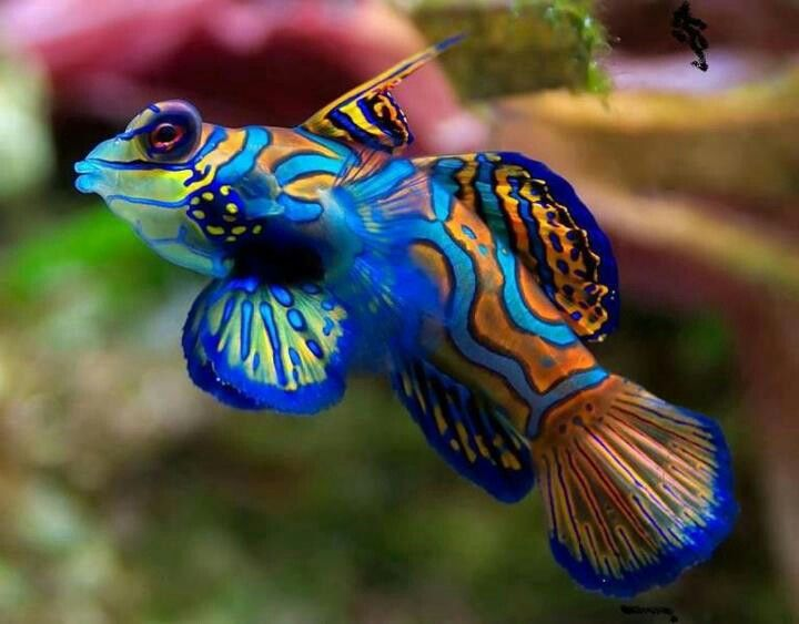 Blue Manderin Blenny Dragonet Aka Scooter Blenny Goby Mandarin Fish Sea Animals Beautiful Fish