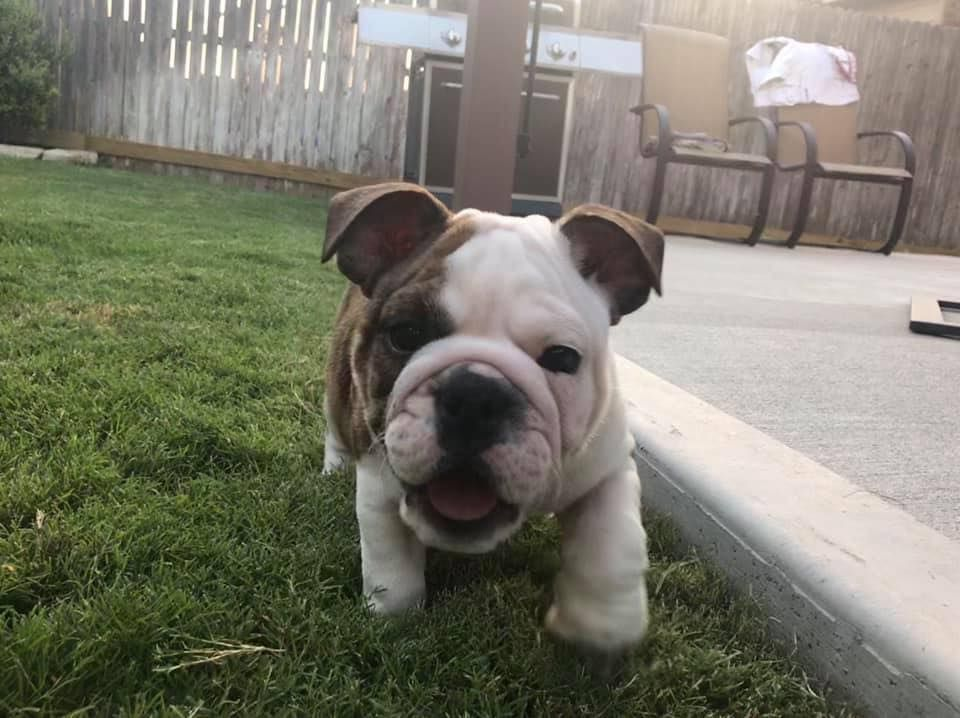 English Bulldog Puppies Sale Texas Drogon Puppy English