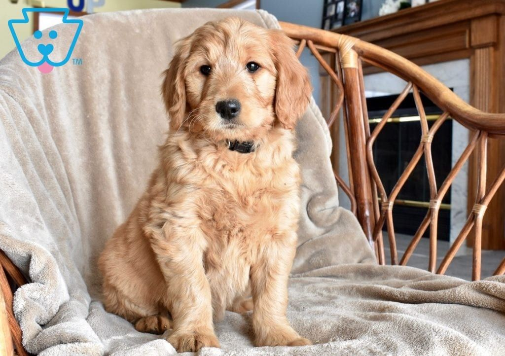 Dixie Goldendoodle Puppy For Sale Cute Baby Puppies Puppies