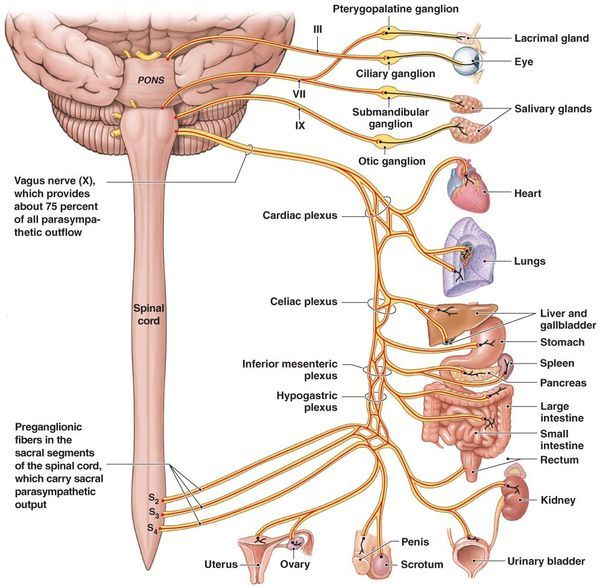 Spinal Chord Location Administrative For Orgasm