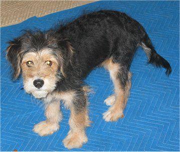 Wirelsh Terrier, Wirelsh Terriers, Welsh Terrier Wire Fox Terrier Hybrid