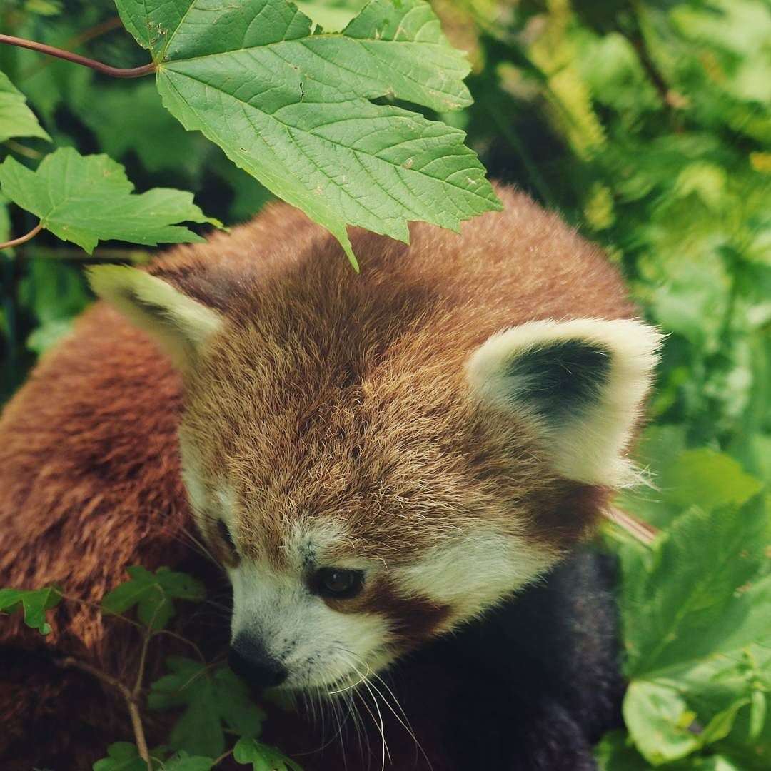 Beautiful Lim At Zoo Linz Photo Red Pandazine Cc By 40
