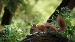 "creatures-alive: ""Red Squirrel by Irene slicesoftimephotography.smugmug.com """