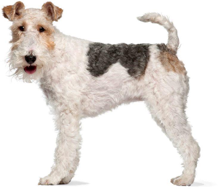 фокс порода собак фото