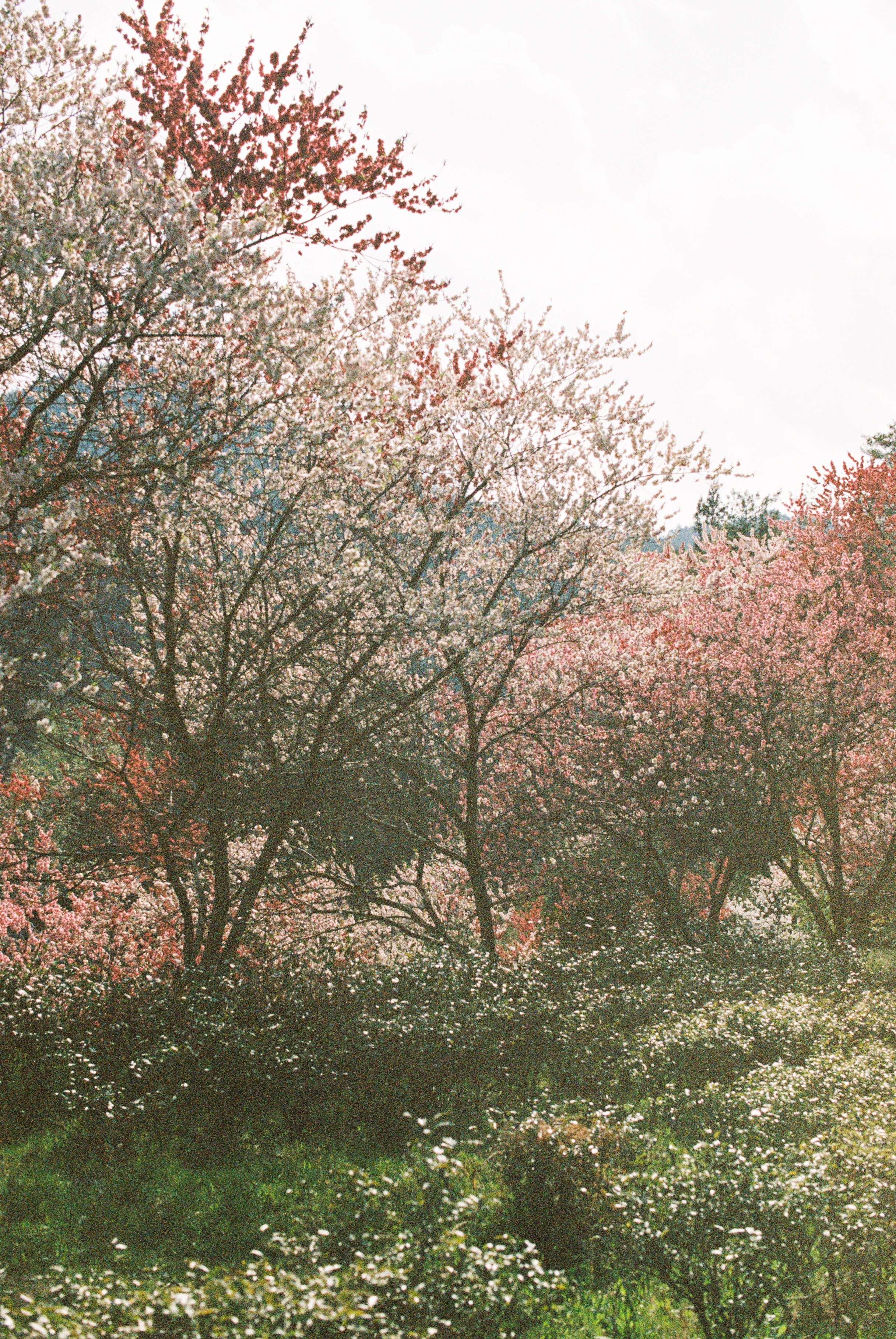 Cherry Blossoms In Japan 35mm Travel Film Photography Film Photography 35mm 35mm Photography