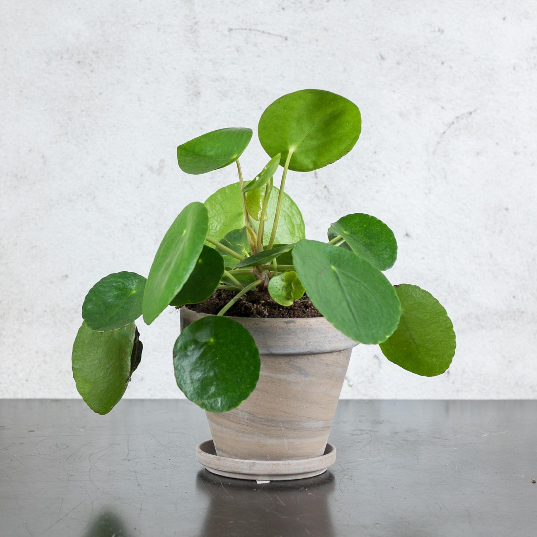 plante verte pilea