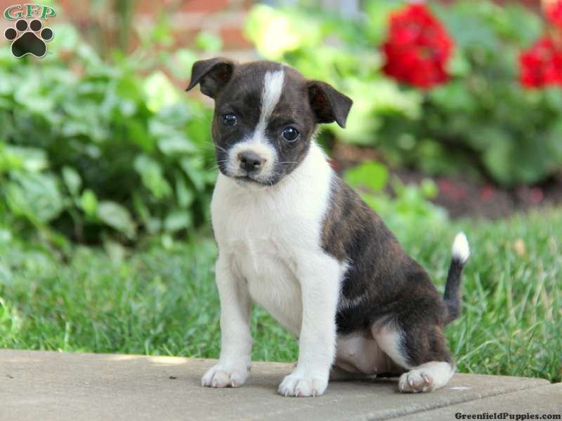 Princess Boston Terrier Mix Puppies For Sale In Honey Brook Pa