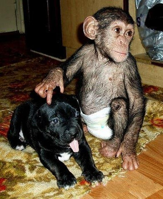 Chimpanzee Adopted By a Mastiff | English Russia