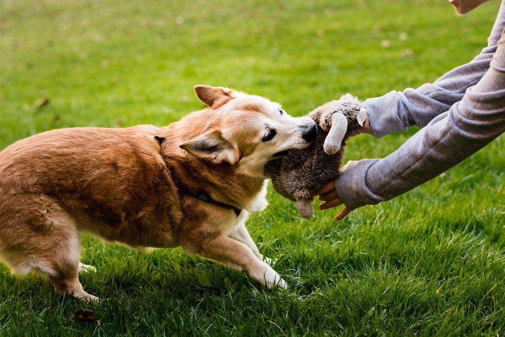 Jillian The Corgi Shiba Inu Bowling Green Ohio Pet Photography Animal Photography Pet Photographer Pet Event