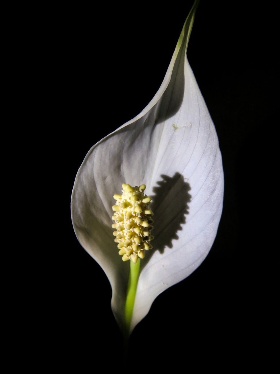 Peace Lily Fleurs Pinterest Peace Lily Lily And Peace