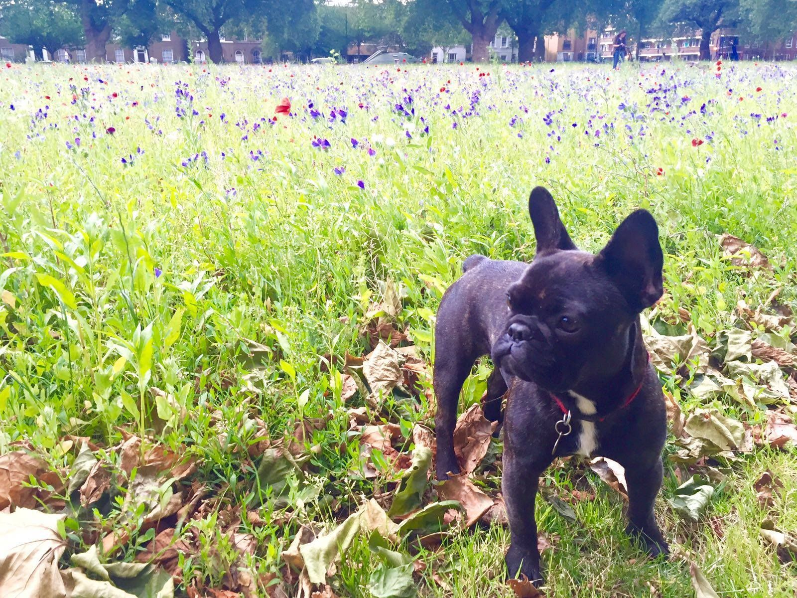 Female French Bulldog called Patti London Fields/Hackney
