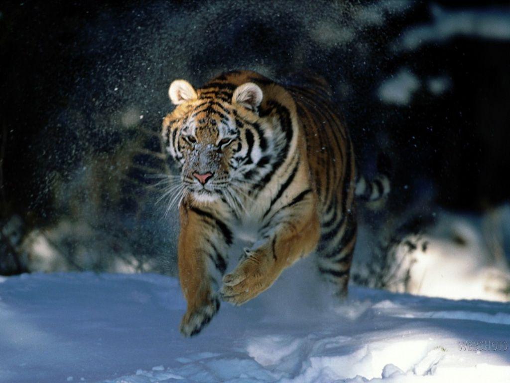 Tiger Siberian Tiger Wallpaper Nat Geo Adventure Pet Tiger Tiger Wallpaper Animals