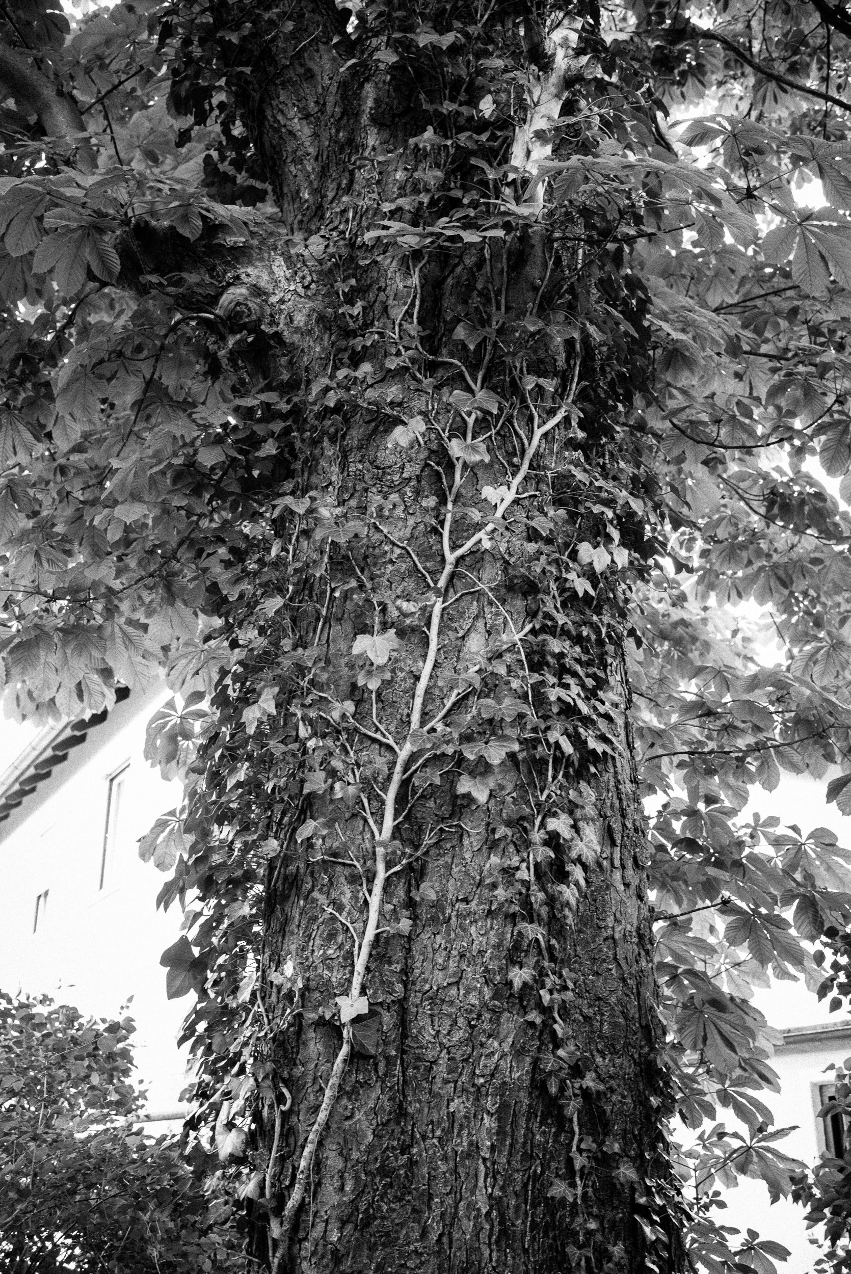 Der alte Kastanienbaum in Garten meiner Eltern.
