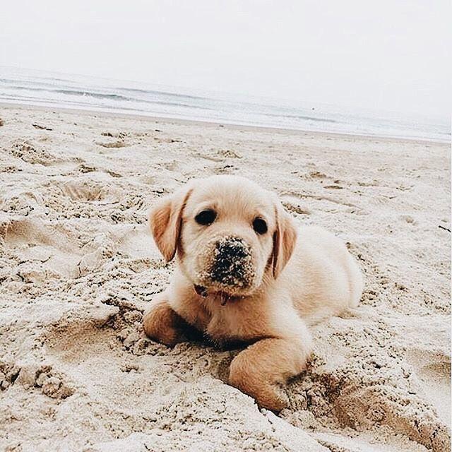 Perritos 3 Cute Animals Cute Animal Pictures Lab Puppies