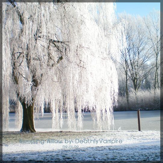 Winter Willow Tree Tattoos Weeping