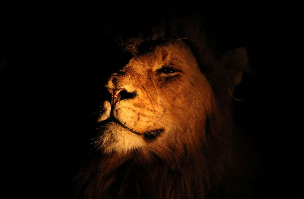 King: Spotted this male lion while on safari in Kruger National Park in South Africa. His disdain for the light clearly shows his imperiousness for those around him. (© Michaela May/National Geographic Photo Contest)