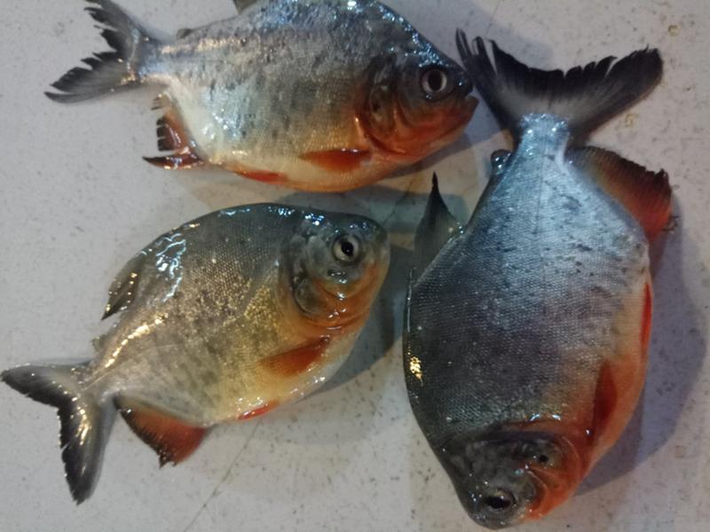 Umpan Ikan Bawal Dengan Buah Buahan Agar Cepat Disambar Ikan Buah Umpan Pancing
